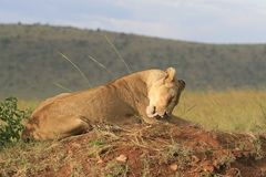 Famale-L?we, der im trockenen Gras stillsteht und leckt seine Tatze in Masai Mara, Kenia liegt lizenzfreie stockfotos