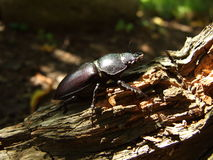 Famale stag beetle Stock Photos