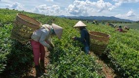 Famales Havesting чай, они используя руку для их работы Стоковая Фотография