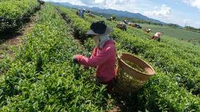 Famales Havesting чай Стоковая Фотография RF