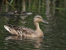 Famalle duck. Famale duck on the lake Royalty Free Stock Photos