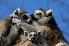 Famely of katta lemurs in portrait Stock Photos