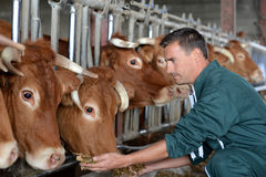 Famer and cows Stock Images