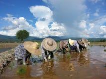 Famer die padieveld met regenboogachtergrond planten, Thailand Stock Afbeelding
