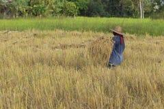 Famer-Ernte auf dem Reisgebiet Stockfotografie