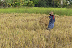 Famer harvest in the rice field Stock Photography