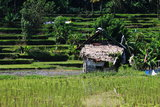 Rice field landscape Indonesia Royalty Free Stock Photo