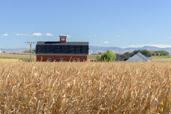 Famers field of corn with a red barn stock photo