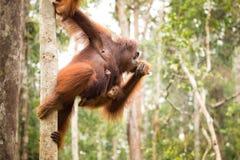 Famiglia adorabile dell'orangutan che appende sull'albero Immagine Stock Libera da Diritti
