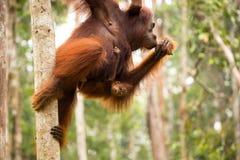 Famiglia adorabile dell'orangutan che appende sull'albero Fotografia Stock Libera da Diritti