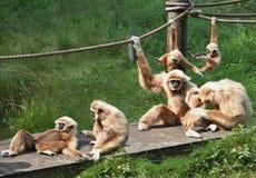 Famiglia allegra della scimmia fotografia stock