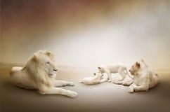 Famiglia bianca del leone Fotografia Stock Libera da Diritti