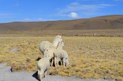 Famiglia bianca in montagne delle Ande, Perù dell'alpaga Fotografia Stock