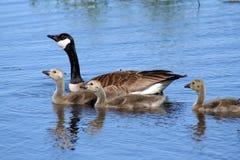 Famiglia canadese dell'oca immagine stock