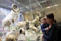 Famiglia che esamina le pecore di montagna Fotografie Stock Libere da Diritti