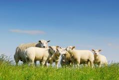 famiglia che raccoglie le pecore Fotografia Stock