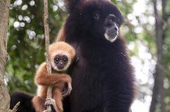 Famiglia d'argento del gibbone Immagini Stock