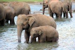 Famiglia degli elefanti Fotografia Stock Libera da Diritti