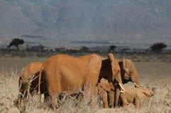 Famiglia degli elefanti Immagine Stock Libera da Diritti
