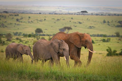Famiglia degli elefanti che camminano attraverso la savanna, m. Fotografia Stock