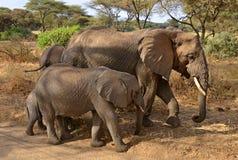 Famiglia degli elefanti che camminano lungo la strada Immagine Stock