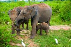 Famiglia degli elefanti con i giovani uno Fotografia Stock Libera da Diritti