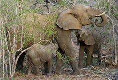 Famiglia degli elefanti con il loro elefante del bambino nella savanna Fotografia Stock