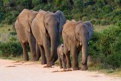Famiglia degli elefanti dal Sudafrica immagini stock