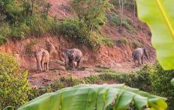 Famiglia degli elefanti di mattina Immagini Stock