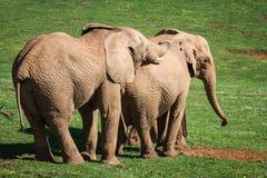 Famiglia degli elefanti sulla savanna africana Safari in Amboseli, Kenya, Fotografia Stock Libera da Diritti