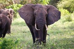 Famiglia degli elefanti sulla strada di Serengeti del thre Immagini Stock