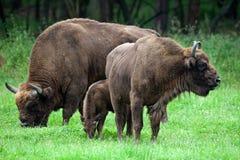 Famiglia dei bisonti Fotografia Stock Libera da Diritti