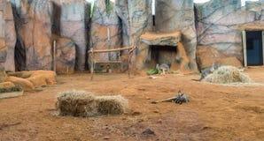 Famiglia dei canguri australiani che stanno sulla terra fotografie stock libere da diritti
