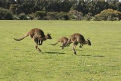 Famiglia dei canguri di salto Immagine Stock Libera da Diritti