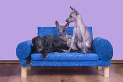 Famiglia dei cani glabri messicani di mattina a letto Fotografie Stock Libere da Diritti