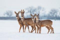 Famiglia dei caprioli nell'inverno Caprioli con fondo nevoso Animale selvatico con gli alberi nevosi su fondo fotografia stock libera da diritti
