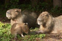 Famiglia dei capybaras Fotografia Stock Libera da Diritti