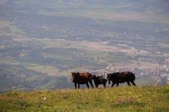 Famiglia dei cavalli della montagna fotografia stock