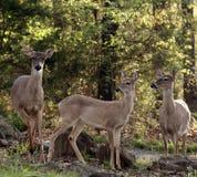 Famiglia dei cervi della coda bianca Fotografie Stock Libere da Diritti