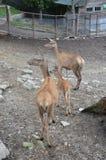 Famiglia dei cervi nello zoo di Kaliningrad Russia Fotografie Stock