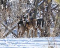 Famiglia dei cervi whitetailed inverno Immagini Stock