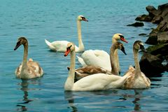 Famiglia dei cigni che nuotano nell'acqua vicino alla riva di Bal del lago Fotografie Stock