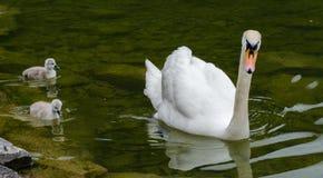 Famiglia dei cigni con i cigni nel lago di hallstaettersee hallstatt immagini stock