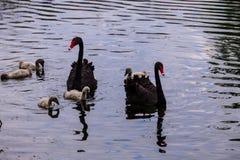 Famiglia dei cigni neri che galleggia su una superficie del lago fotografia stock