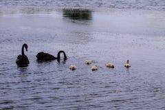 Famiglia dei cigni neri che galleggia su una superficie del lago immagini stock