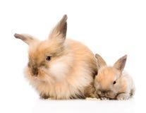 Famiglia dei conigli nella parte anteriore Isolato su priorità bassa bianca Fotografia Stock Libera da Diritti