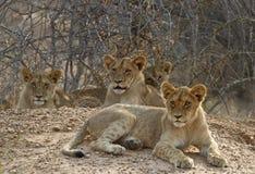 Famiglia dei cubs di leone Immagini Stock Libere da Diritti