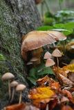 Famiglia dei funghi marroni accanto agli alberi Fotografie Stock