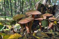 Famiglia dei funghi nella casa del ceppo di decomposizione Immagine Stock