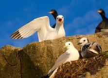 Famiglia dei gabbiani (kittiwakes) Immagine Stock Libera da Diritti